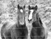 a pair of chestnut brown horses hang out by the fence looking for handouts.