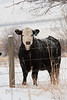 cow number 43 peers at the photographer from behind a barbed wire fence.  it is winter and very cold on this montana ranch.