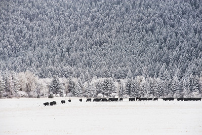 cattle head back to the barn for feeding.  the backdrop is a wall of evergreen trees capped with snow.  the weather is below zero.