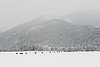 a herd of cattle sit in front of a mountainous backdrop.  It is winter and sub zero on this montana ranch.
