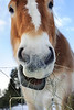 view of a horse's mouth photographed from below as this huge  draft horse munched on hay.