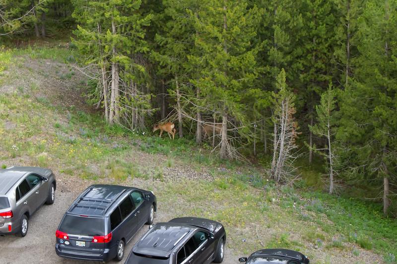 Deers on the parking lot, Big Sky resort, MT