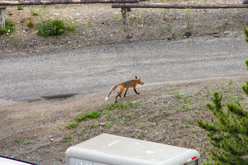 Fox on the parking lot, Big sky resort, MT