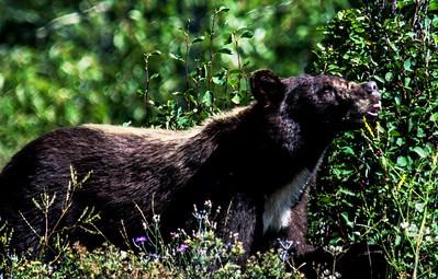 Black Bear-1786