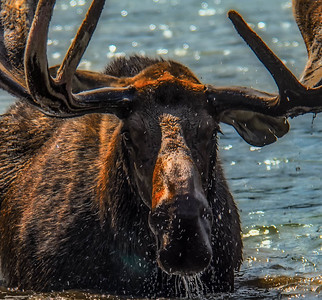 Bull Moose 004- Fishcap Lake - Glacier-