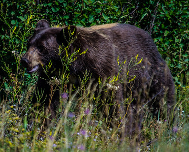 Black Bear-1797