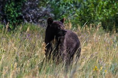 Black Bear -1759
