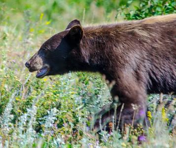 Black Bear-1801