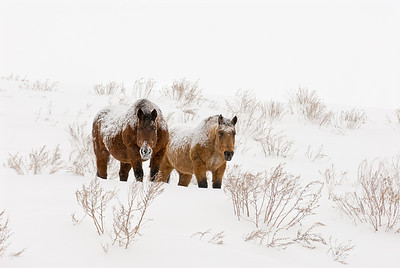A pair of snow covered horses brave a montana whiteout.