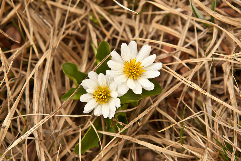 Marsh Marigolds in Montana.
