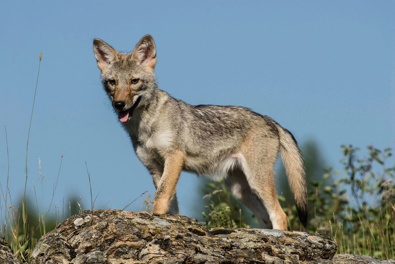 598989381_coyote_pup