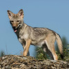 598989381_coyote_pup