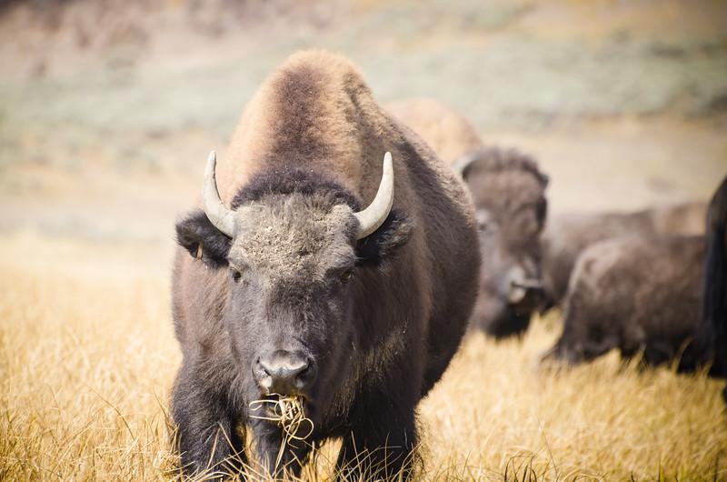 Disturbing this Buffalo's lunch
