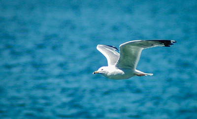 Tern in flight, Flathead Lake