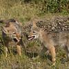598988735_coyote_pups