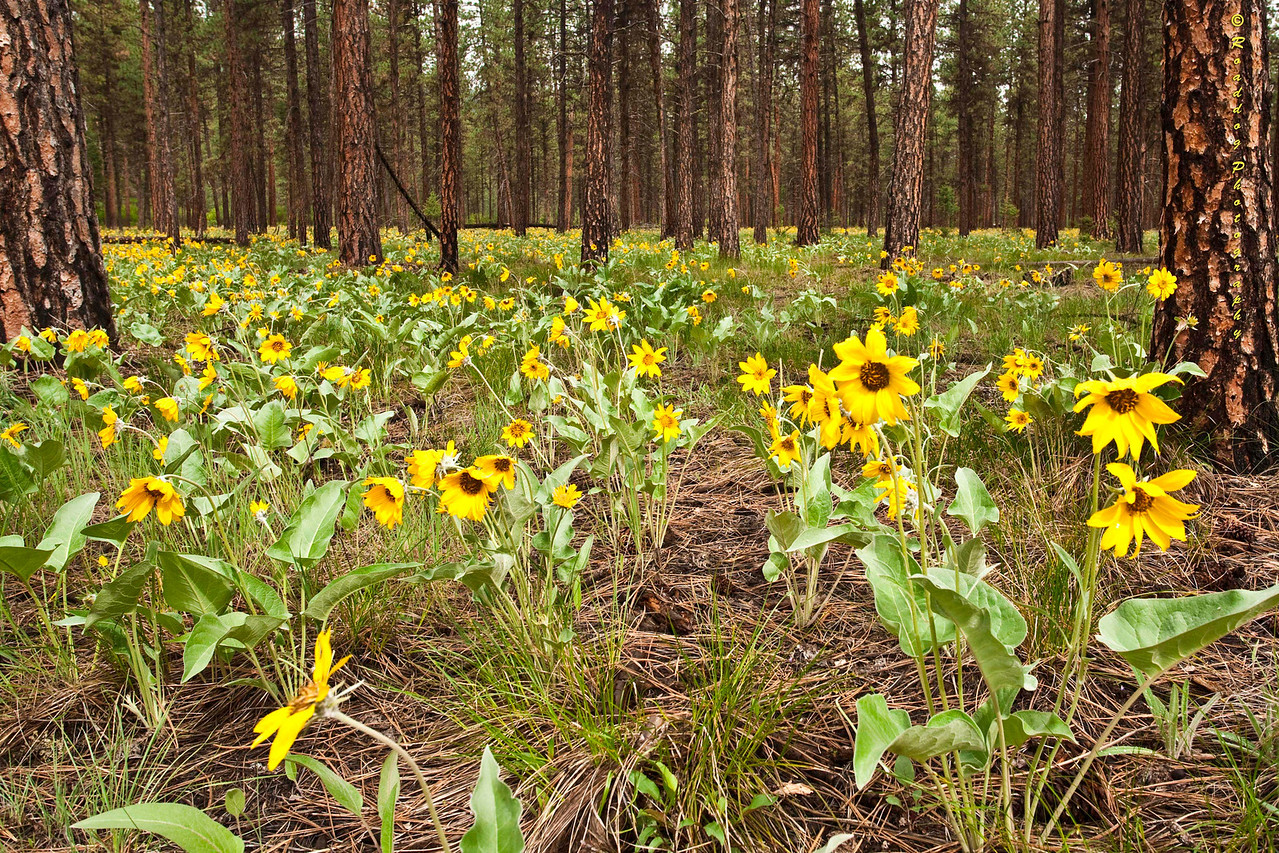 Balsamroot and Pines