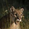 mt lion
