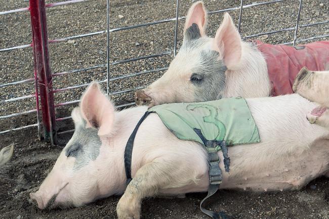 pigs sleeping