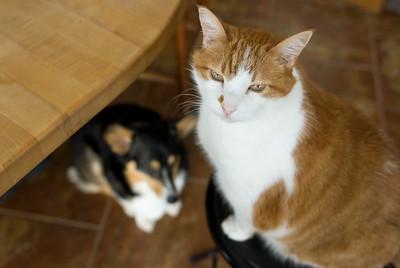 A cat sits smugly on a stool above a corgi.