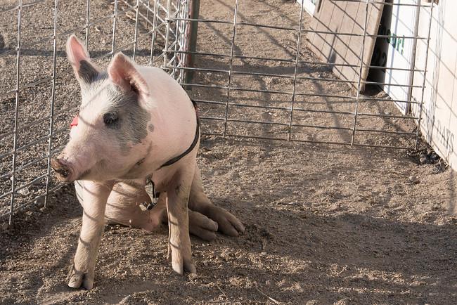racing pig