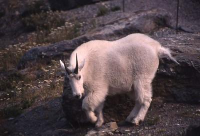 Goat Posing