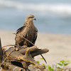 A Black Kite shot from the resort