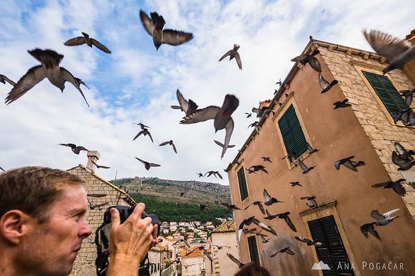 Pigeon attack!
