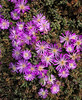 Cooper's Ice Plant (Delosperma cooperi),  Lovers Point, Monterey, CA, May 2014  This grows profusely on the rocky ledges along the shore at Lovers Point. It flowers in May. I believe it's an invasive plant but it's beautiful when flowering.