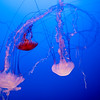Purple-Striped Jelly and Black Sea Nettles at the Monterey Bay Aquarium