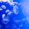 Moon Jellies at the Monterey Bay Aquarium
