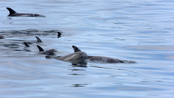 Risso's dolphins