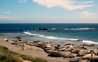 Elephant Seals in San Simeon.