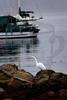 Giant Egret in low tide.