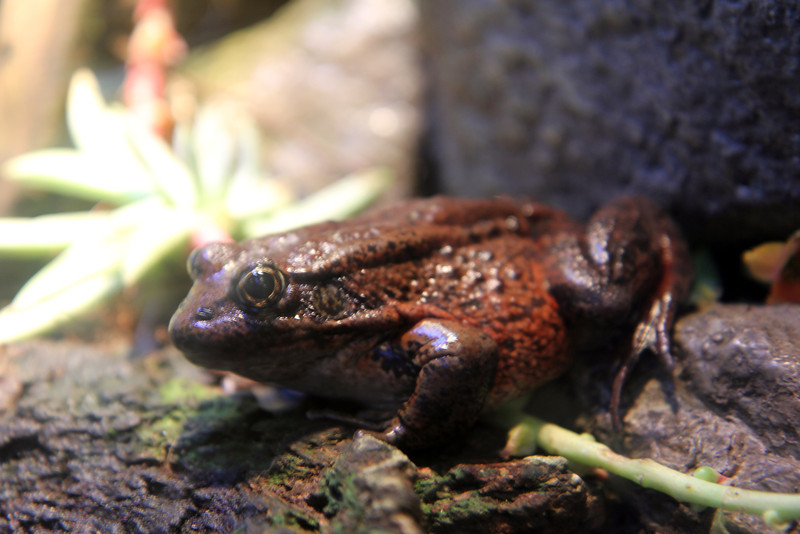 Frog @ Monterey Bay Aquarium