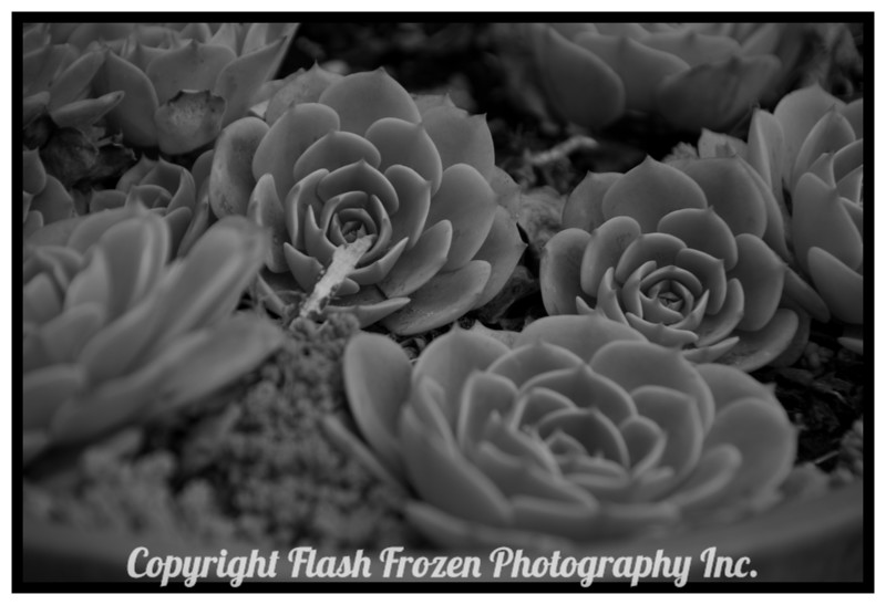 Succulents in the Rain<br /> Stanford Inn by the Sea
