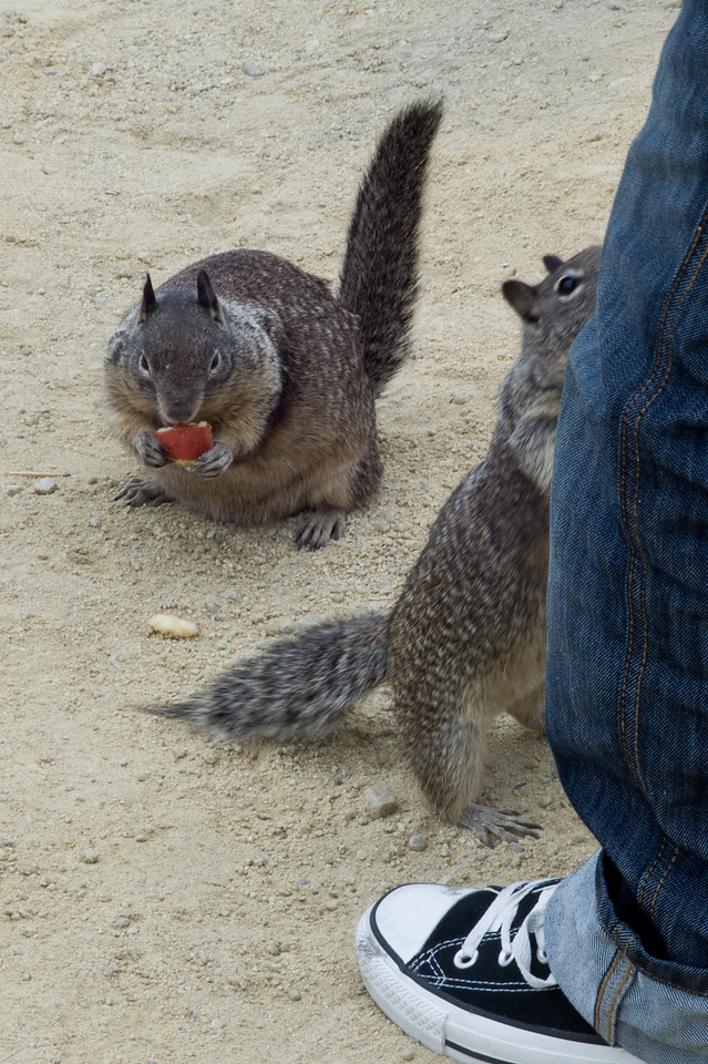 17 mile drive Pebble Beach to Carmel - Squirrels begging for more food.