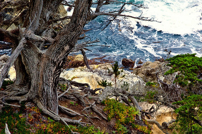 17 mile drive Pebble Beach to Carmel - The rugged coast and gnarled tree trunk.