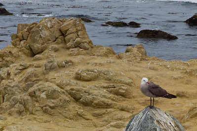 17 mile drive Pebble Beach to Carmel a lone seagull on his well decorated perch.