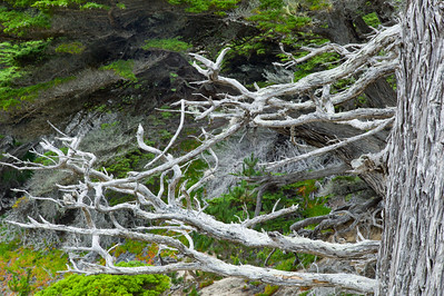 17 mile drive Pebble Beach to Carmel - Old bare Cypress Tree