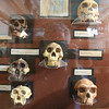 Hominid evolution at the Redpath Museum.  Is that an ethereal vision of the future of human evolution in the center?