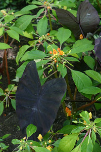 The large leaves on the one plant were black, black, black! I wonder whether they'd grow in California?