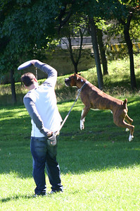 This boxer couldn't wait to get a real frisbee game going.