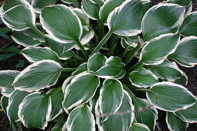 You can find hostas in California, too, but they were everywhere in Montreal. Climate must be perfect for them. And they're gorgeous.