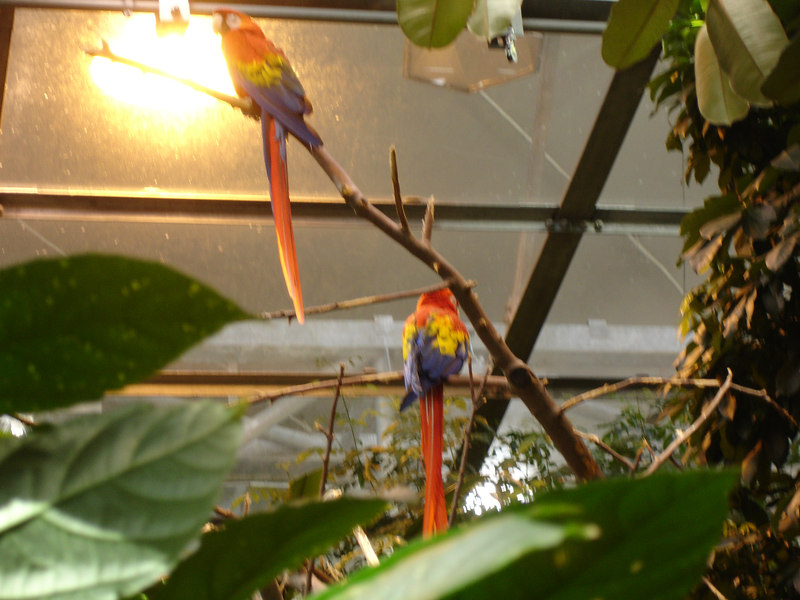 scarlet macaws in the rainforest section of the biodome