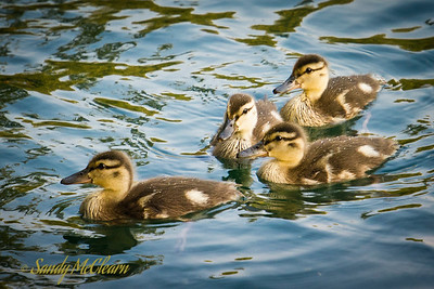 Ducklings on the pond of La Fontaine Park.