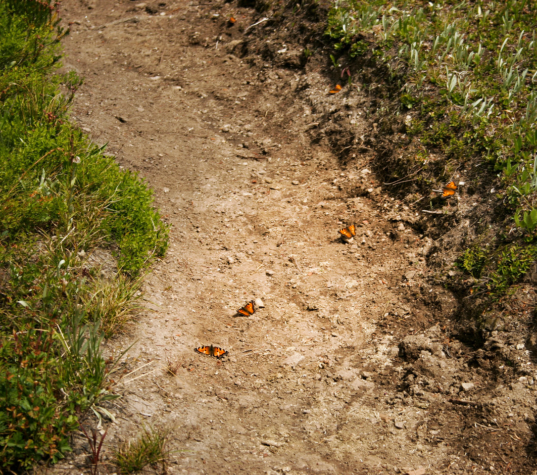 butterflies on a trail