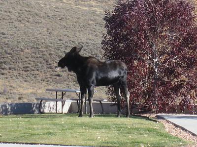 Moose, Park City UT - 10/20/2010