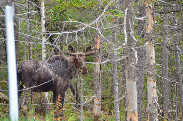 Driving across Route 302 in Vermont, a motorist coming the other way flashed his lights at me. We were way off in the woods where it wasn't likely there would be a cop. Just up the road I spotted this moose in the woods right next to the road!<br /><br />Young male moose, note the horns growing in with the velvet on them. Note also the mangy patches of skin, presumably a result of the long snowy winter this year.
