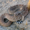 A rattle snake hanging out along the hiking trail in Moreno Valley, California.