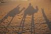 Sunset camel ride in the Sahara desert.